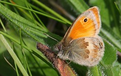 Small Heath - Coenonympha pamphilus 220517 (2) (Richard Collier - Wildlife and Travel Photography) Tags: butterflies british insects macro closeup smallheath