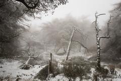 Surviving (JamesPicture) Tags: peakdistrict roaches snow staffordshire trees mist