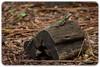 Eastern Water Dragon (Physignathus lesueurii) (Craig Jewell Photography) Tags: australia australiazoo beerwah queensland steveirwin zoo f40 100300mm ¹⁄₁₀₀₀sec canoneos1dmarkiv iso1600 137 20171228105921x0k0126cr2 noflash ‒1ev