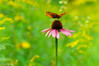 Cone Flower and Butterfly (Dean OM) Tags: film velvia olympus om 135mm macro cone flower butterfly color green yellow pink