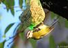 Mésange bleue (jean-daniel david) Tags: oiseau nature mésange arbre ciel feuille jaune bleu