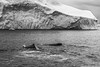 Humpbacks in front of Icebergs (Role Bigler) Tags: buckelwal canoneos5dsr ef4070200isusml humpback humpbackwhale ilulissat natur nature diskobay eisberg greenland grönland iceberg nordatlantik northatlantic whale