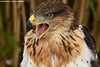 King Buzzard - Falconry fair (Mandenno photography) Tags: animal animals bird birds king buzzard roofvogels falconry fair valkerij beurs ngc nederland netherlands nature