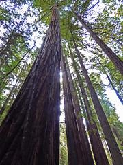 Muir Woods (jonhuskisson) Tags: california sanfrancisco usa travel woods nature trees muirwoods redwood