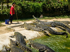 Malaysia-5144.jpg (CitizenOfSeoul) Tags: malaysia pulaulangkawi wildlife see langkawi andamanensee outdoor wildlebendetiere animal krokodil crocodile echsen panzerechse futter feeding