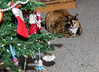 Isis Christmas Morning (Donald.Gallagher) Tags: animals cats christmas de delaware felines holiday horizontal isis mammals myfamilygallagher nature newcastlecounty northamerica people pikecreek private public tortoiseshell typecolor typelightroom typenormal typeportrait typeshutterbuttonfocus usa winter woodcreek xmas