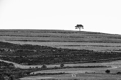 Lone tree (BrianEden) Tags: travelphotographer blackandwhite za southafrica travelphotography travel xpro2 tree fuji capetown bw hill fujifilm