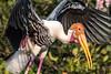 Vedanthangal (Velachery Balu) Tags: vedanthangal migratorybirds birdingseason chennai pelicans pelicaninflight paintedstork blackheadedibis