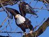 Bald Eagle (Metallicat923) Tags: foxriver kanecounty illinois batavia eagle bald