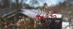 Winterberry bush POV kitchen; 22 Parker Rd, Wakefield, Massachusetts (2017) (Stepthos) Tags: winter berry bush berrybush massachusetts wakefield red