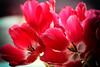 Liiving Art! Enjoy live! (Ageeth van Geest) Tags: tulp tulip color enjoy live life flower red