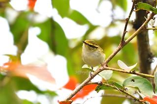 Pallas's Leaf Warbler 黃腰柳鶯