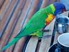 Rainbow lorikeet (Val in Sydney) Tags: rainbow lorikeet oiseau perroquet parrot bird nsw australie australia
