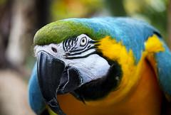 Every move you make ) (Natalia Medd) Tags: bird parrot colorful eye beak look