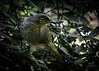 Stripe-throated Bulbul (Tokki,an idiot w/cameras & birds. 3,015,817 views) Tags: 1001nights bird bulbul ampang tar tokki