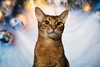 Luke - Christmas (Katherine Ridgley) Tags: toronto pet christmas season holiday indoor backdrop background animal animalia mammal mammalia carnivore carnivora cat feliscatus felissilvestriscatus felissilvestris felis felidae feliformia purebred purebreed purebredcat abyssinian abyssiniancat ruddy ruddyabyssinian usual usualabyssinian male malecat maleabyssinian domesticcat