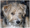 Poppy as a puppy (Fishlady_UK) Tags: terrier puppy yorkie