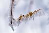 Conditions extrêmes (watbled05) Tags: macro feuille givre glace bokeh cristaux
