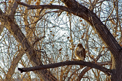 Red-tailed Hawk (Buteo jamaicensis) immature.  Bosque del Apache National Wildlife Refuge, New Mexico, USA. (cbrozek21) Tags: redtailedhawk buteojamaicensis bosquedelapache newmexico hawk raptor bird tree nature