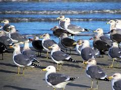 Flock of seagulls (thomasgorman1) Tags: birds beach sand sandbar water sea ocean shore tide seagulls gulls nature flock group wildlife canon baja mexico cortez