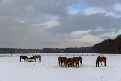 Oud Reemst besneeuwd landschap (nldazuu.com) Tags: december paarden wolkenlucht laan bos sneeuwlandschap snow sneeuw bomen landschap oudreemst oudreemsterlaan winter2017 dieren schnee natuurmonumenten winter