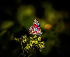 blotterfly wing (gotmyxomatosis69) Tags: butterfly butterflies flyingbutterfly flyingbutterflies northcarolina cruso coldmountain canon flower macro garden tree wood sky lsd trippy blueridgemountains