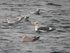 Slaty-backed Gull (Ben_The_Hen) Tags: bird birding birdwatching wisconsin rare rba seagull gull water lake