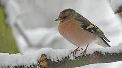 Buchfink (karinrogmann) Tags: buchfink chaffinch schnee snow neve fringuello