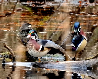 Winter Wood Ducks