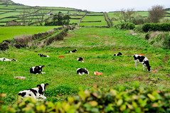 cows of leisure (Terceira Island, Azores) (Gail at Large | Image Legacy) Tags: 2017 azores açores ilhaterceira portugal terceira gailatlargecom