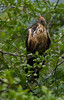 Hoatzin sheltering chick from the rain (pbertner) Tags: amazon behaviour bird challuacocha ecuador hoatzin rainforest sanilodge saniproject2017 southamerica stinkbird