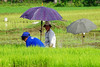 Planting rice (David B. - just passed the 5 million views. Thanks) Tags: philippines pilipinas teampilipinas pinas philippine filipinas leyte southernleyte island southeastasia asia asian asiatique visayas a6000 ilce6000 sonya6000 sonyilce6000 70200 70200g sonyfe70200g sonyfe70200mmf4goss sony woman women rice field fields umbrella farm farming farmer water green