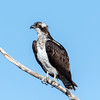 Osprey (Ed Sivon) Tags: america canon nature lasvegas wildlife wild western southwest desert clarkcounty clark vegas bird birdofprey white black henderson nevada nevadadesert park
