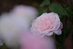Rose 'Gruss an Aachen' raised in Germany (naruo0720) Tags: rose germanrose grussanaachen germanrosescollection バラ ドイツのバラ グルスアンアーヘン ドイツのバラコレクション マクロ ボケ macro bokeh