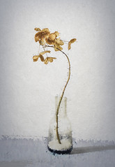 Hortensa Still Life (shawn~white) Tags: plant aged decay dried floral flower hortensia hydrangea stilllife texture weathered