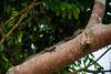 The Asian water monitor lizard (Varanus salvator) chilling on a tree. Kinabatangan River (Phalinn Ooi) Tags: sepilokorangutanrehabilitationcentre sunbear sepilok rainforestdiscoverycentre rainforest jungle wildlife sandakan kinabatangan river sukau bilit sabah borneo malaysia asia nature outdoor adventure safari holiday animal orangutan proboscis monkey silverleaf lutung langur crocodile snake monitorlizard boat labukbay myne resort canon eos dslr photography egret bird wanderlust travel family beautiful view love wife trekking macro flower insect tree forest 5dmarkiv beardedpig water cruise alam world scenery flora fauna megadiverse biodiversity landscape people sexy woman biology naturalist coutinho