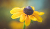Coneflower (Dhina A) Tags: sony a7rii ilce7rm2 a7r2 iscoopticultramc95mmf2 isco optic ultra mc 95mm f2 cinema projector projection lens schneider soft creamy smooth bokeh coneflower indiansummer rudbeckia hirta flower