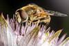Pink Paradise - _TNY_0974 (Calle Söderberg) Tags: macro canon canon5dmkii canonef100mmf28usmmacro canoneos5dmarkii raynox dcr250 flash meike mk300 glassdiffusor insect stjärnflocka greatmasterwort masterwort astrantia major pink pastel hoverfly blomfluga eristalis eristalinae syrphidae blackbackground compoundeyes dronefly moustache hair hairy fuzz fuzzy fur furry proboscis pollen f22