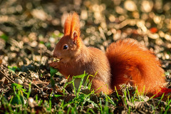 Eat your vegetables (Sergio '75) Tags: scoiattolo squirrel wildlife light nature natura natur naturaleza naturallight natural naturephotograph naturephotography canon canoneos70d sigma150600mmf563dgoshsmc colors colorful redsquirrel