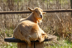 Goat (Bob Gunderson) Tags: california coyotevalley northerncalifornia santaclaracounty southbay