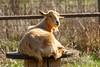 Goat (Bob Gunderson) Tags: california coyotevalley northerncalifornia santaclaracounty southbay