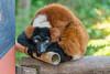 Le regard. (musette thierry) Tags: parc paîridaîza brugelette belgium belgique musette thierry d600 nikon reflex animaux animal animalier