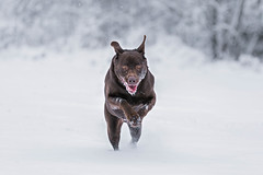Winter Buck (Jenna.Lynn.Photography) Tags: buck dog snow playful running leaping jumping leap jump white brown lab labrador labradorretriever winter winterwonderland wonderland season seasonal snowflakes action pet petphotography canon70200f28lll canon5dmarkiii canon cute funn funnyface funnydog ears smile dogsmile dogsarefamily olddog paws cold brrr chilly trees blur focus frost woods december bright animal animalslookingatyou