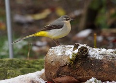 grey wagtail snow (3) (Simon Dell Photography) Tags: grey wagtail snow nature simon dell photography wildlife birds winter scene small cottage borrower house bird table one kind bespoke robin torkshire old english