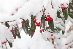 Snow Berries (oandrews) Tags: berries berry branches canon canon70d canonuk cold flora frozen garden nature outdoors plant plants red snow tree winter winterwatch