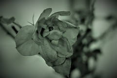 56mm Lensbaby-2 (Penna_bianca) Tags: nature flower plant closeup petal flowerhead beautyinnature singleflower blossom springtime backgrounds macro leaf botany nopeople outdoors blackandwhite white