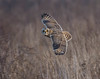 Short Eared Owl (gazclarke2555) Tags: uk merseyside wildlife nature nikon 7200 sigma 150600mm sport shorty