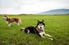 Sitka & Juneau @ Waimea District Park (JUNEAU BISCUITS) Tags: dog siberianhusky husky pet waimea kamuela hawaii hawaiiphotographer bigislandphotographer nikond810 nikon