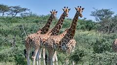 1709 Kenya 9954 (andre.callewaert) Tags: kenya baringo girafe