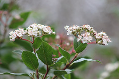 Winter branch (ekaterina alexander) Tags: winter branch tree flower flowers viburnum tinus laurustinus evergreen shrub bloom england sussex ekaterina alexander nature photography pictures